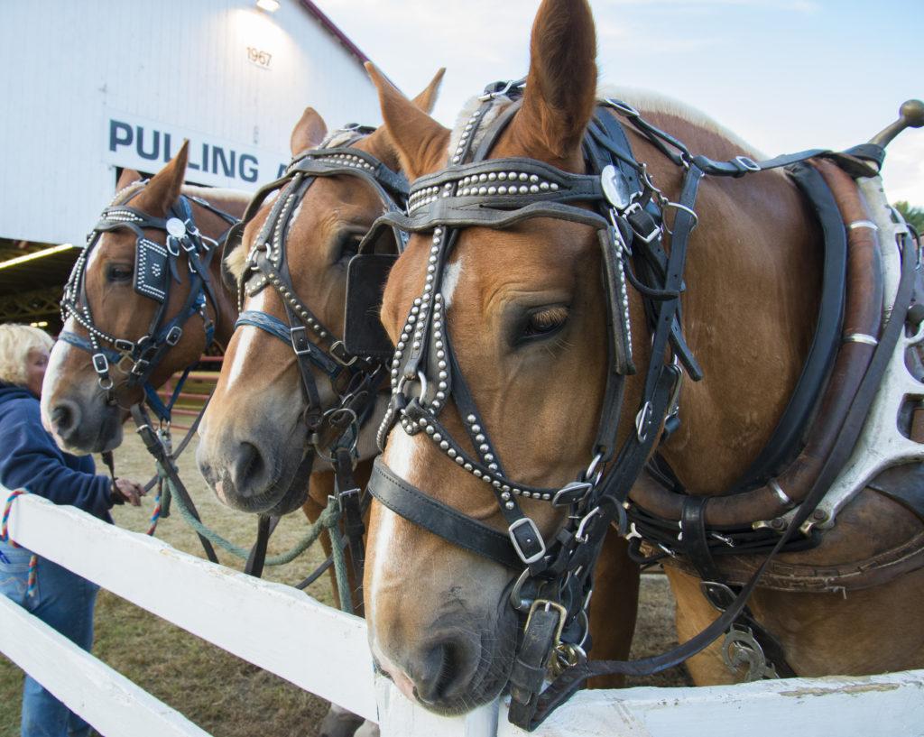 Horses at Cumberland Fair