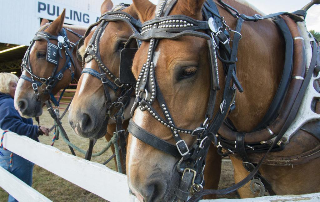Horses at Cumberland Fair, Photo Credit: Chris Riccardo