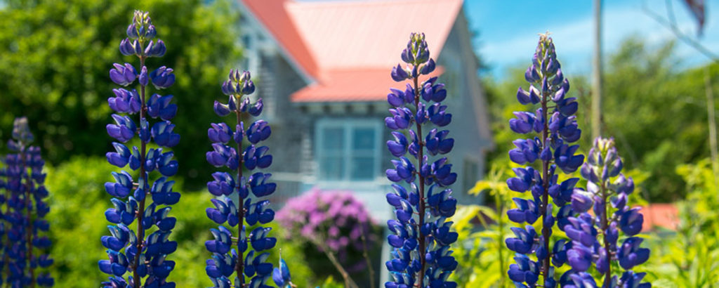 Coastal Purple Flowers, Photo Credit: Corey Templeton
